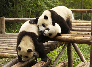 The-History-Of-The-Giant-Panda-Written-In-Its-Genes