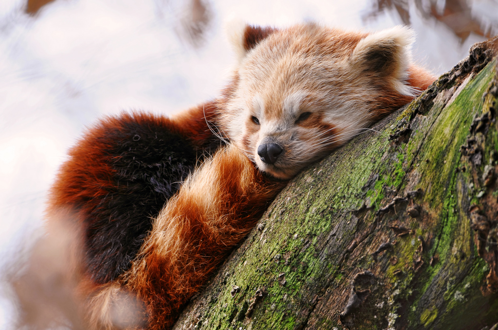 redpanda-sleeping